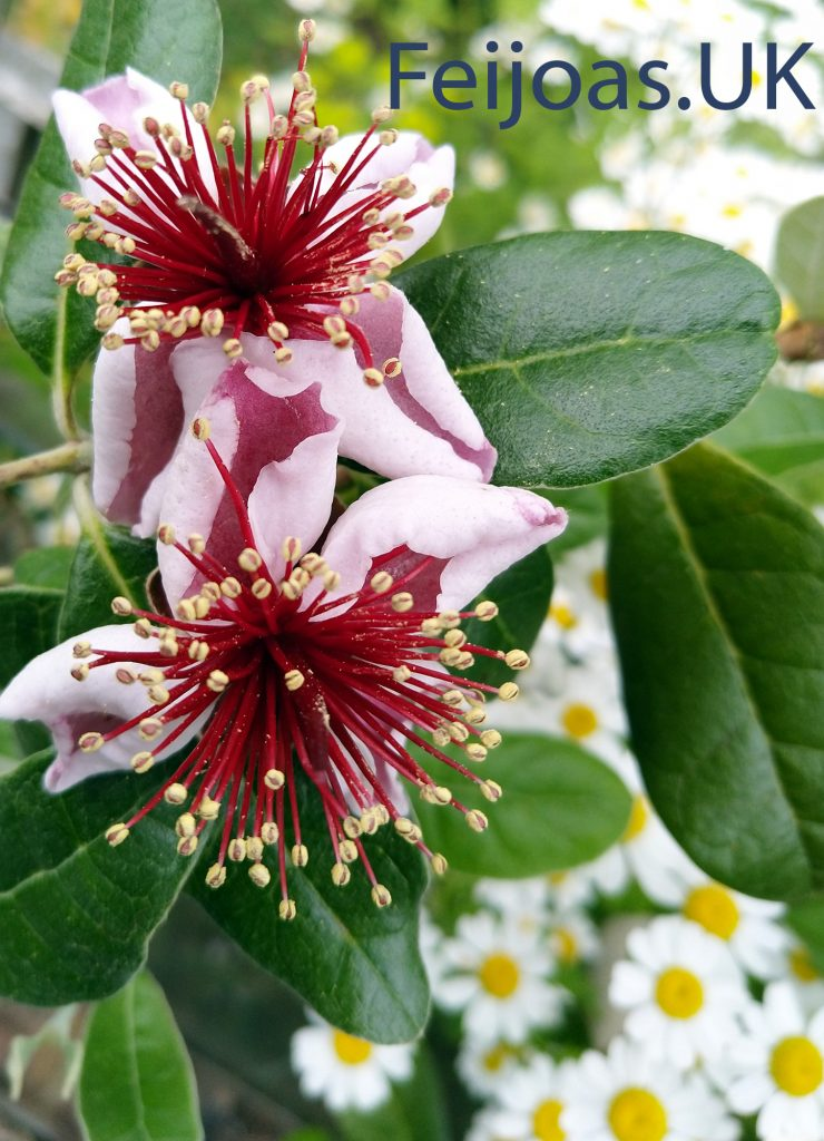 Feijoa Flowers on UK grown feijoa plants.