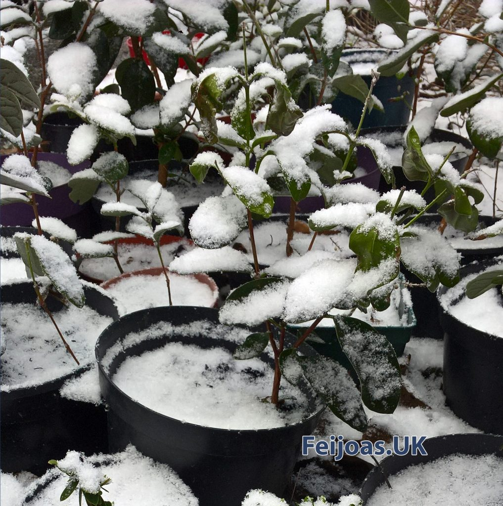 Photo of Feijoa cuttings and seedlings in the snow.