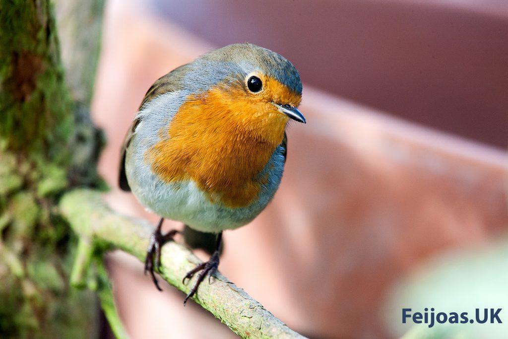Robin on Feijoa branch.