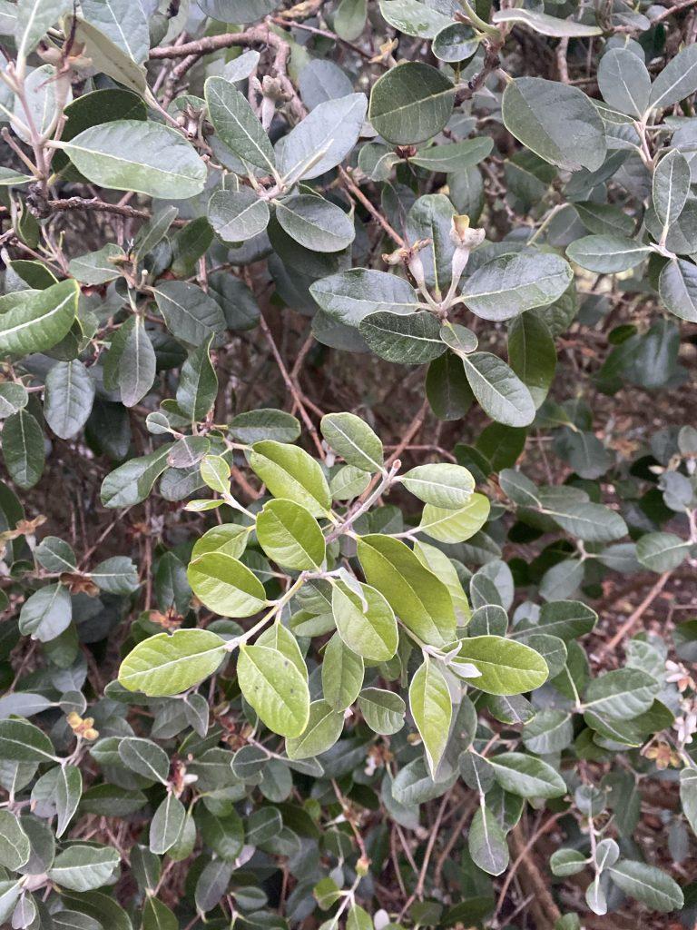 Feijoa plant Kensington Gardens