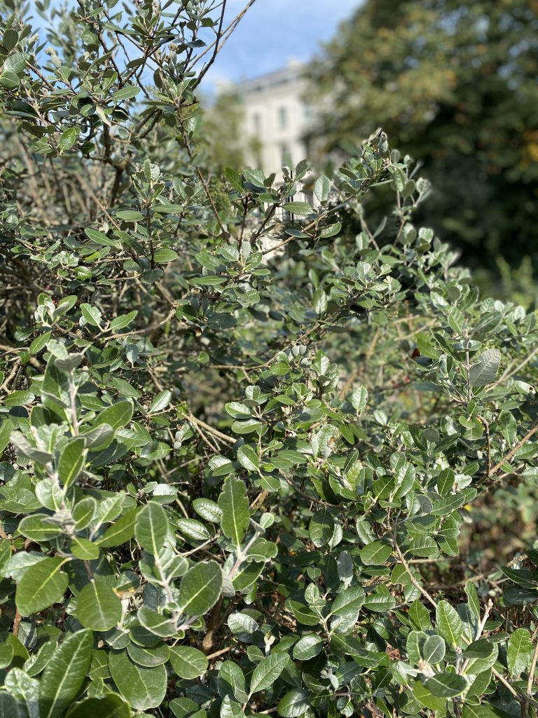 Feijoa fruit starting to form London September 2020.