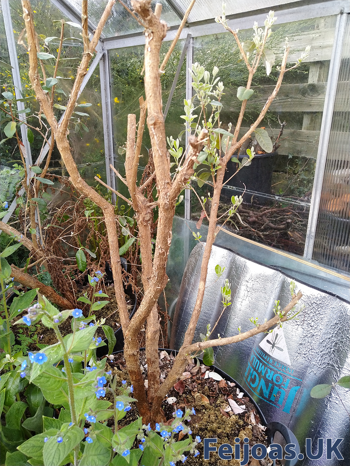 Photo of a Feijoa plant in a 70L builders trug in greenhouse.